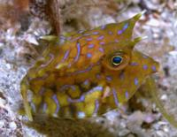 cowfish Gili air