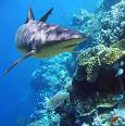 Reef shark the Gilis Lombok