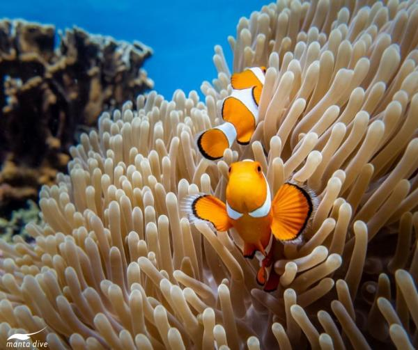 Clownfish photographed at Gili Trawangan dive site